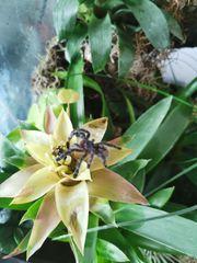 Caribena Versicolor mit Terrarium abzugeben