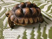 Sulcata Spornschildkröte Nachzucht 2020