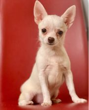 Zuckersüßer Chihuahua Rüde