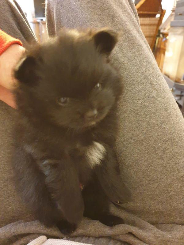 Zwergspitz Pomeranian Welpe Rüde schwarz