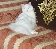 Khao manee Katze