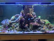 suche diverse Korallen Meerwasser Ableger