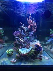 Meerwasseraquarium Korallen Komplettbesatz