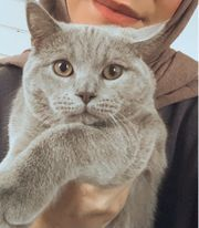 BKH Kater Katze lilac grau