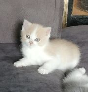 Exotic Shorthair Scotish Fold Kitten