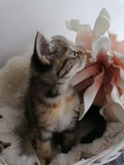 kätzchen mischling perse mix und