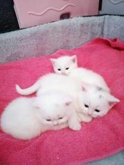 Reinrassige schneeweißen BKH Kitten