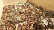Junge Griechische Landschildkröten - testudo hermannin
