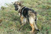 ASTA - Schäferhund Mix Sie ist