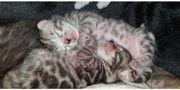 Bildschöne gesunde Bengal Kitten