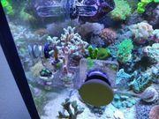 Meerwasser Korallenableger