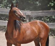 Paint Horse Hengst 2 jährig