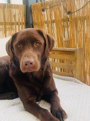 Deckrüde Labrador braun 3 Jahre