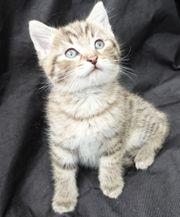 BKH Mix Kitten selten schöne