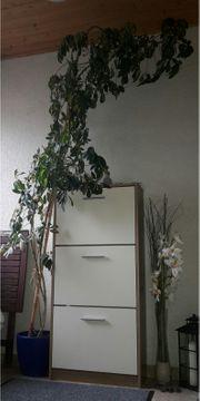 Schefflera Strahlenaralie ca 360cm Höhe
