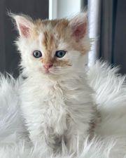 Wunderschöne Selkirk Rex Kitten mit