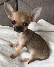 Ein kleiner reinrassiger Mini Chihuahua