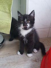 BKH Mix Kitten Katzen von