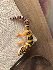 leopardgeckos Babys
