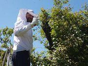 Bienenschwarm einfangen Bienen