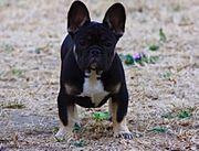 Französische Bulldogge Weiblich VBK Ahnentafel