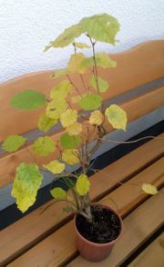 Haselnuss Baum Hasel Corylus avellana
