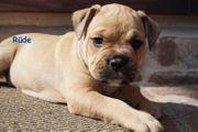 Französische Bulldoggen Mix Mischlinge
