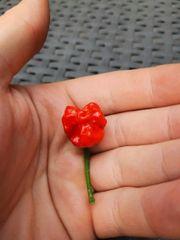 Carolina Reaper schärfste chili Paprika