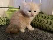 Typvolle Maine Coon Kitten suchen