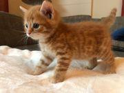 Süße BKH Norwegische Waldkatzen Mix