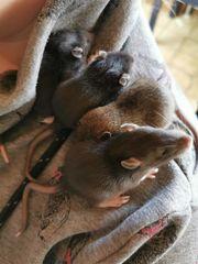 Zahme Ratten Babys männlich