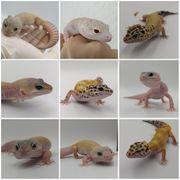 Leopardgeckos Eublepharis macularius noch 0