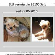 Bitte lesen Yorkshire Terrier vermisst