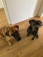 Antikdoggen suchen liebevolles zu Hause