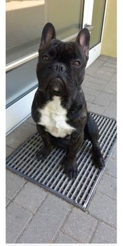Französische Bulldogge Rüde 20 Monate