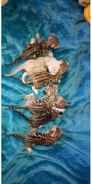Reinrassige Bengalkitten