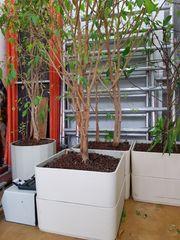 Zimmerpflanzen in Hydrokultur zu verkaufen