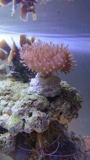 Affenhaar und Sacrophyton Ableger - Korallen
