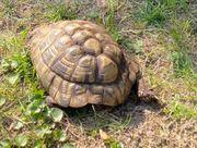 Griechische Landschildkröte gesucht - 100 Finderlohn
