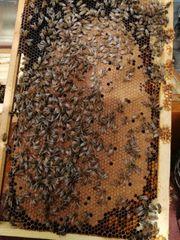 Bienen auf Dadantwaben
