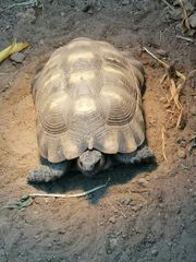 Breitrandschildkröte Testudo marginata von 2005