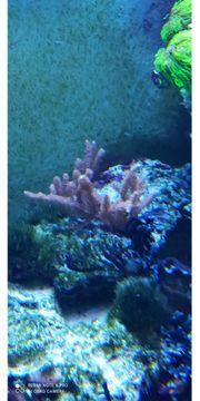 Meerwasser Korallen Gorgonie