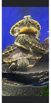 Junge wasserschildkröten venusta