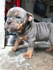 englische Bulldoggen Welpen abgabebereit