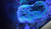 Koralle Chalice Golden-Nugget XXL