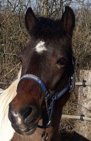 Pflegebeteiligung an Ponystute zu vergeben