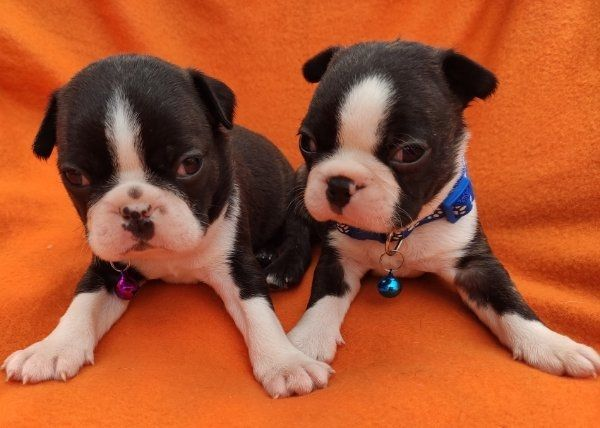 Boston Terrier Welpen In Nysa Hunde Kaufen Und Verkaufen Uber Private Kleinanzeigen