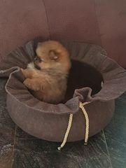 Pomeranian Zwergspitzwelpen
