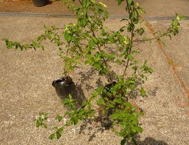 Pflanzen - Ahorn Hartriegel Baum Busch Pflanzen