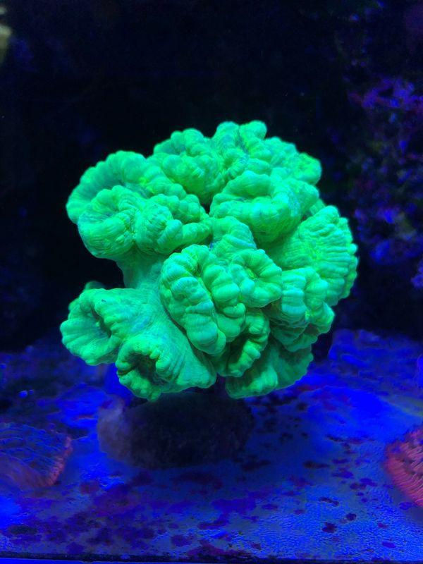 Euphyllia Anemone goniopora Meerwasser Korallen